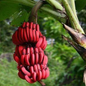 tissue Banana