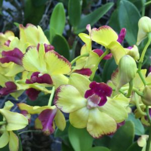 Purchase Golden Dendrobium Orchids Online