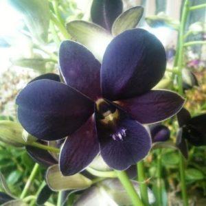 Violet Dendrobium Orchid