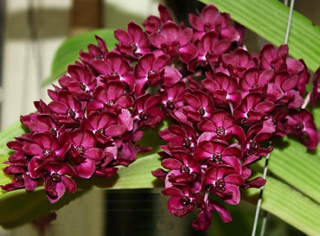 red rhyncostyllis orchids purchase online