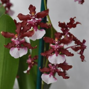 Buy Red Oncidium Orchids Online