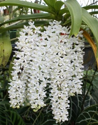 buy white rhyncostyllis