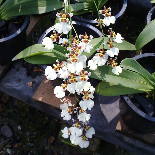 Oncidium White Orchid Plant Buy Online Oncidium Orchids