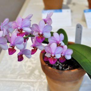 Phalaenopsis with pots