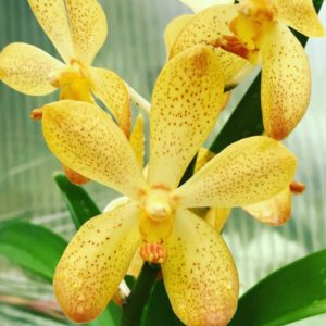 Purchase Orchid Plants Online | Buy Orchid Plants Online