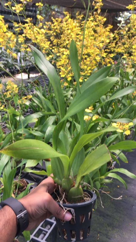 Oncidium Golden Shower Pots And Petals