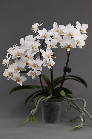 Buy Phalaenopsis Online Purchase Moth Orchid