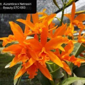 Aurentica x netrasiri beauty
